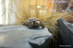Chersobius signatus (3)